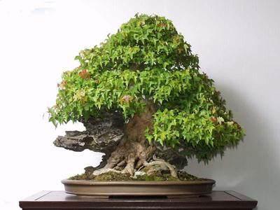 三角枫盆景怎么发芽制作与养护