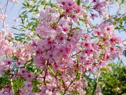 怎样防治樱花病虫害?