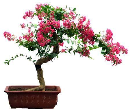 紫薇老桩制盆景怎样使用生根粉的方法