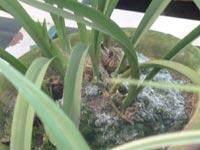兰花叶尖枯焦的致因与防治