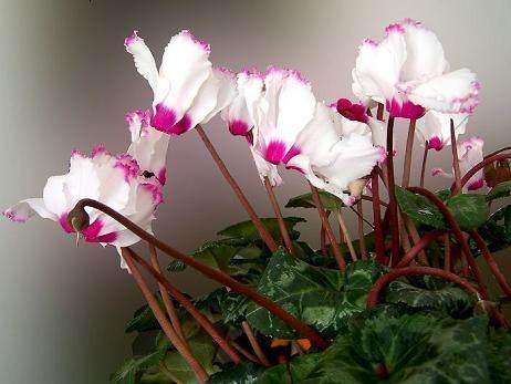 家庭盆花防病虫害法