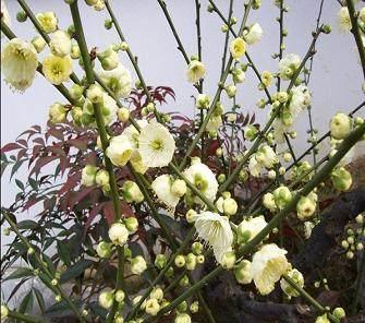 梅花盆景虫害的防治方法