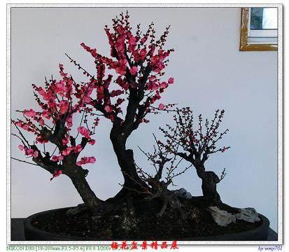 梅花盆景怎么造型的3个技巧