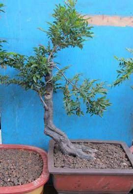 3月树桩盆景如何换盆的方法