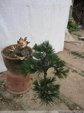 冬季破解怎么换盆换土修枝的3个方法