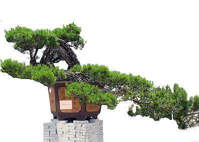 华山松盆景的管理及观赏