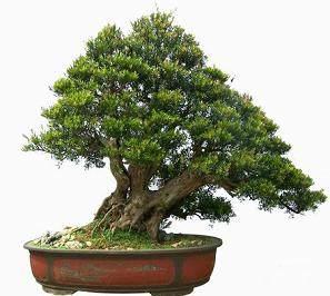 水培赤楠盆景怎样生根成活的方法