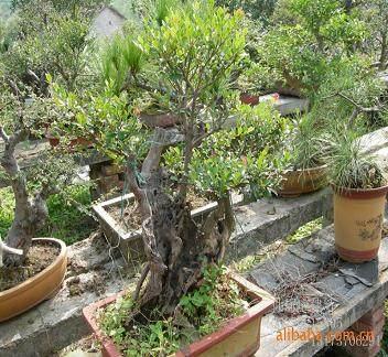 赤楠老桩盆景怎么发芽造型的方法 图片