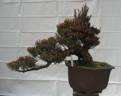 怎么选择最好赤楠盆景树桩的方法