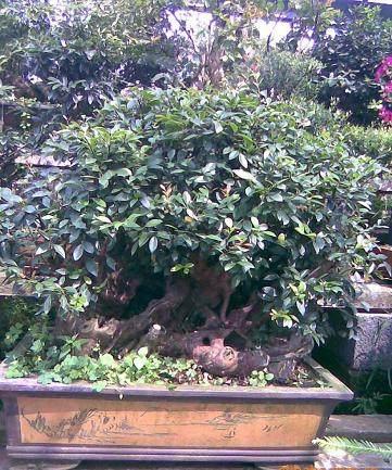 赤楠老桩盆景下山桩的栽培要领