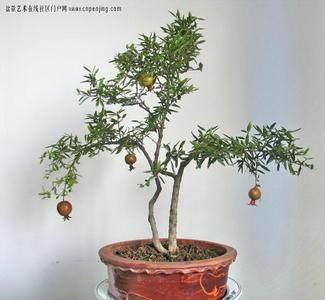 石榴老桩盆栽怎样成型养护的方法