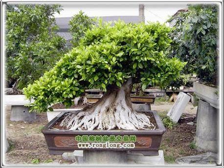 中国榕树盆景之乡----漳浦县沙西镇地处福建省南部