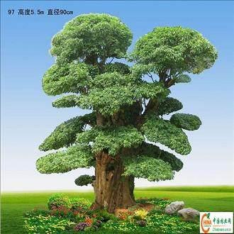 对节白蜡是珍稀树种盆景