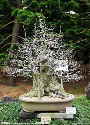 露根式树木老桩盆景怎样培育的方法