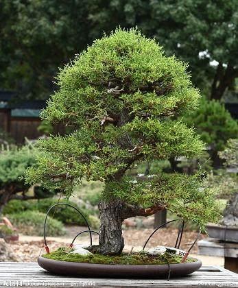 树木盆景生根后怎样剪枝的方法