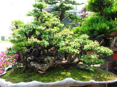 雀梅盆景的夏季管理