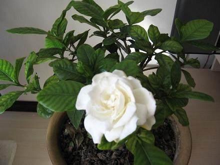 栀子花盆栽约30天生根 夏季与母株分离