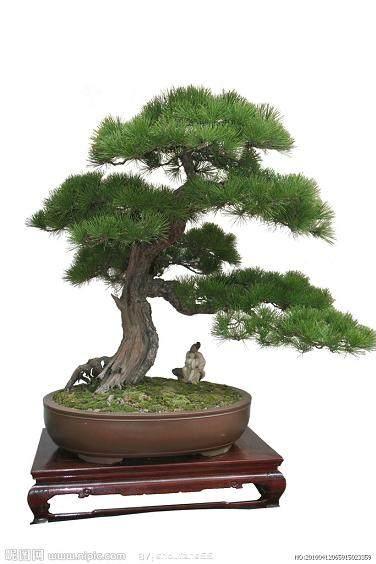 新树桩盆景生根养活有招的方法