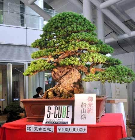 日本盆栽交易会售出1亿日元天价松树盆栽(图)