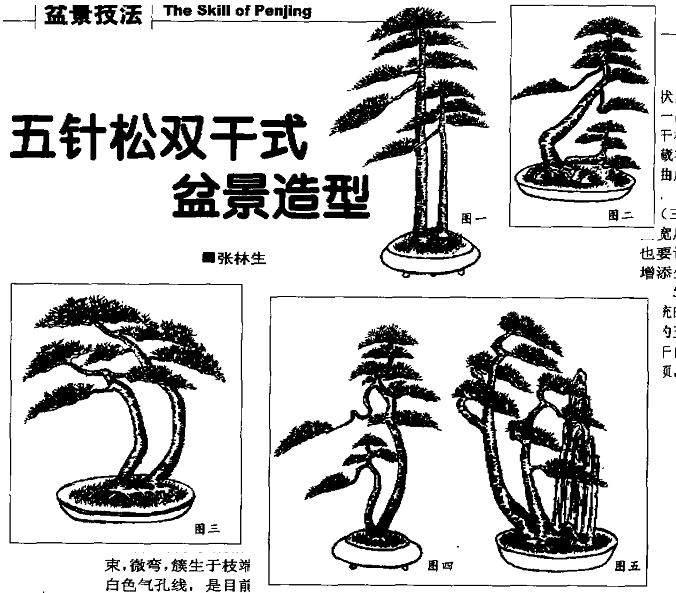 五针松盆景的主要品种有哪4种