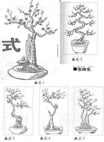 艺梅盆景生根后怎样造型的方法