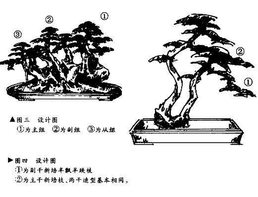 如何赤楠盆景树桩制作成悬崖式?