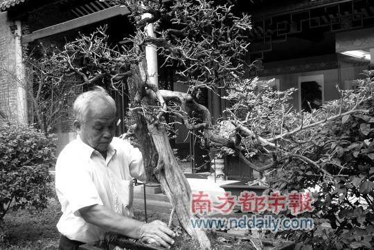 盆景大师带着九里香参加在建国60周年盆景展