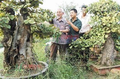 阜阳市颍州区卜子东村的银杏盆景(图)