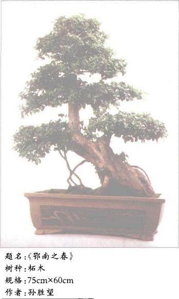 怎么做好盆景树桩养护中的放 图片