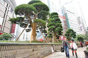 3棵百年日本罗汉松种入小什字重庆金店前的花台