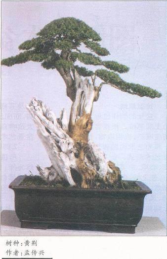 黄荆盆景怎样移栽制作与造型