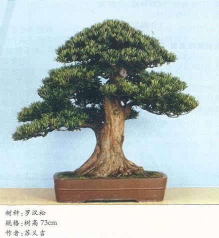 读苏义吉先生的罗汉松盆景