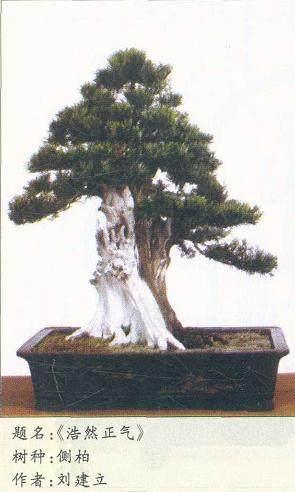 柏树怎么直干式独立大树盆景的4个方法