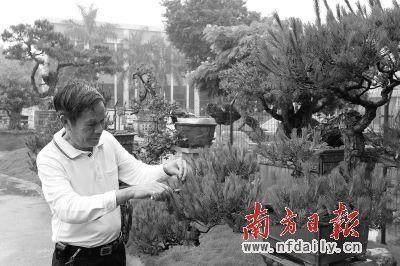 岭南派盆景是中国盆景艺术的新秀