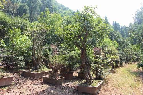 探访重庆鞍龙农业发展有限公司的生态盆景园