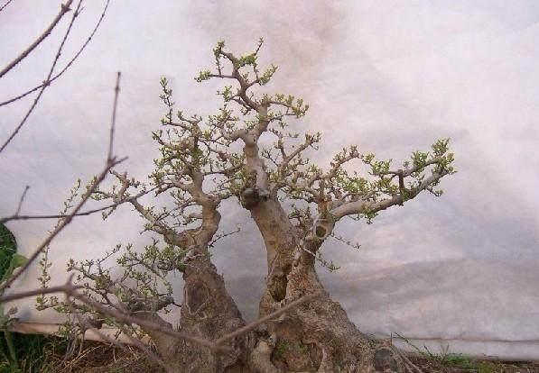 对节白蜡是制作盆景中的不良枝