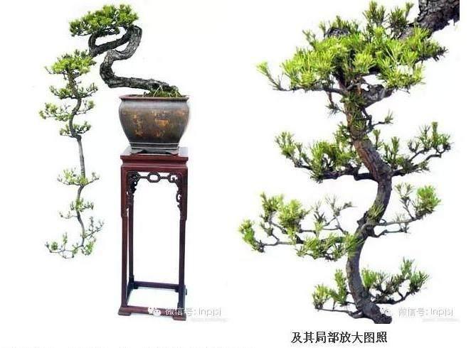 """岭南盆景艺术的""""柳格"""""""