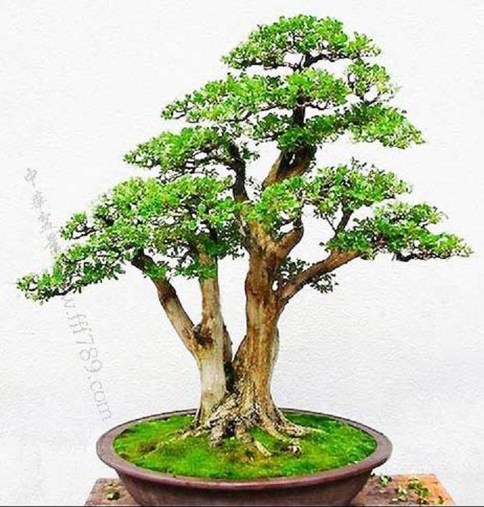 黄杨老桩盆景叶子怎么开花发芽的方法