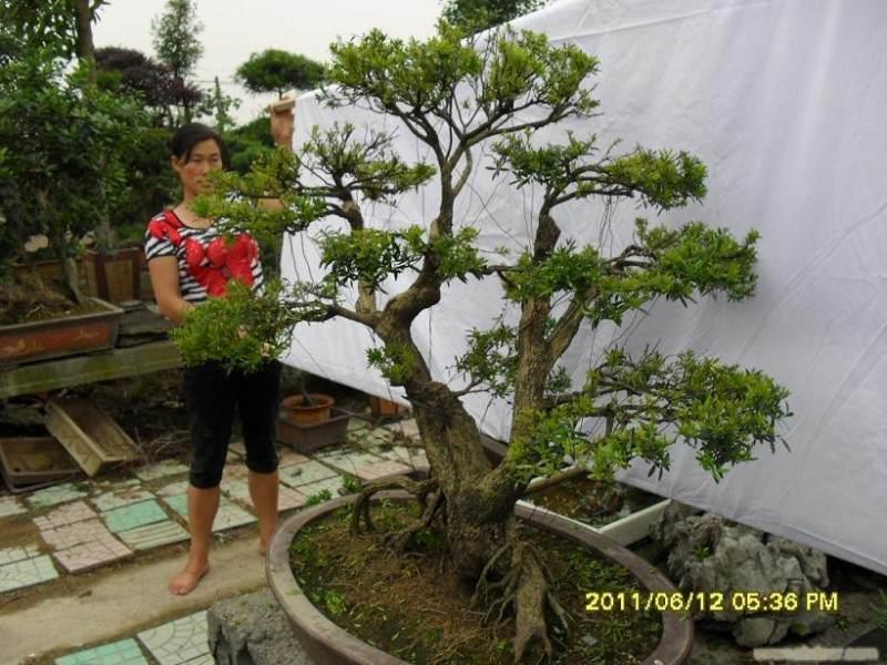 黄杨老桩盆景怎么生根造型 高压与选材