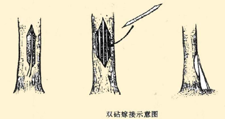银杏盆景嫁接发的季节是什么时候 图片