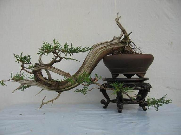 柏树树桩盆景 夏季倒芽 怎么办