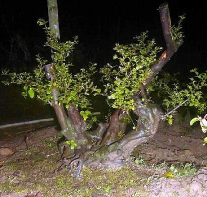 下山桩地栽和盆栽老桩的区别比较 图片