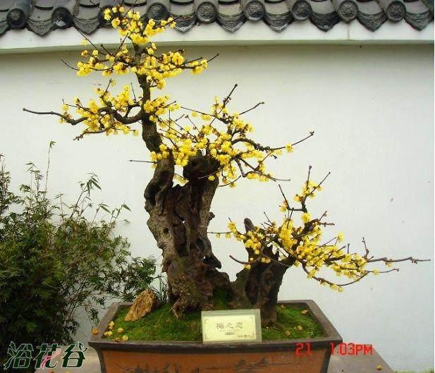 春天采用T字形芽接梅花盆景的具体做法