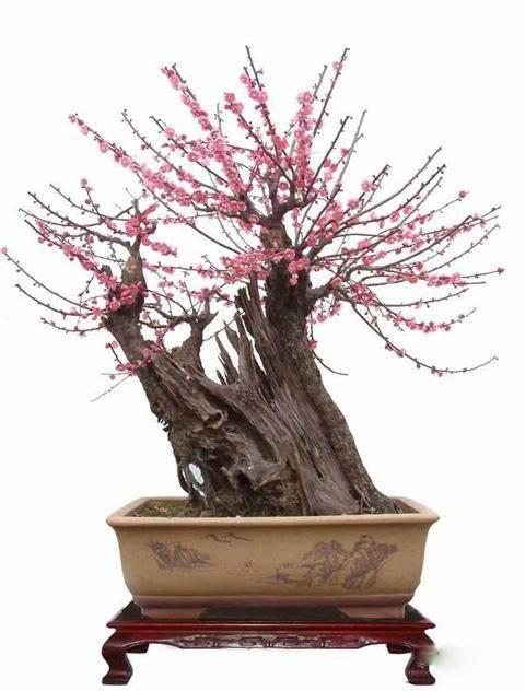 这盆徽派的梅花盆景还有一些值得称道之处