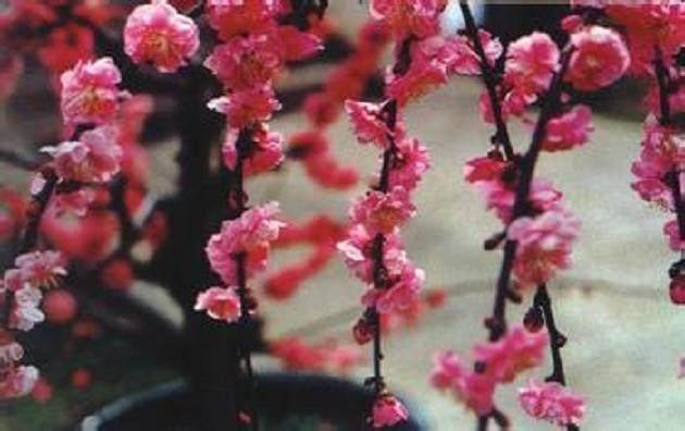 梅花盆景怎么嫁接的方法 图片