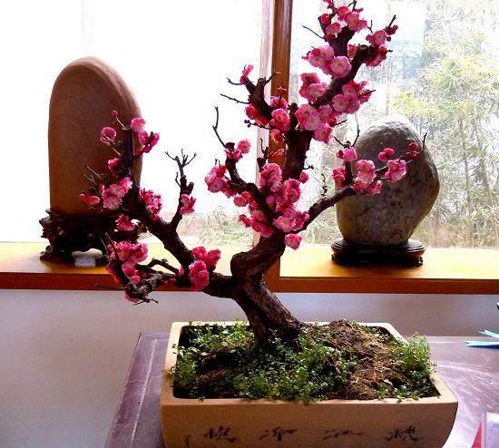 梅花盆景在春天发芽后怎么培养 图片