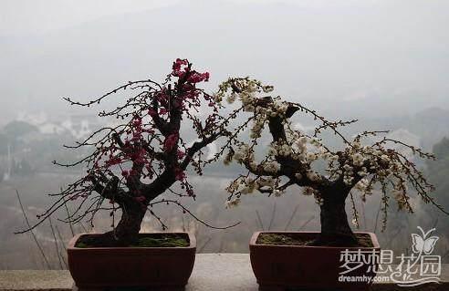 梅花盆景怎么速成栽培的方法
