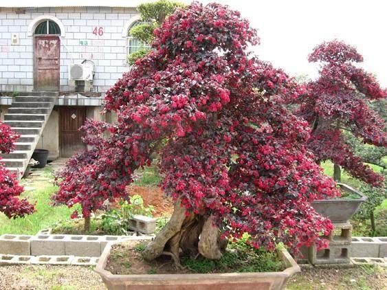 红花檵木盆景的发芽养护方法 图片