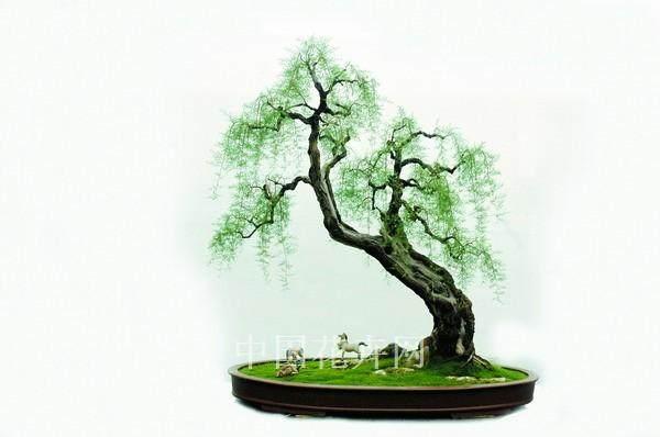 为什么柽柳盆景老枝枯死 新枝发芽 图片