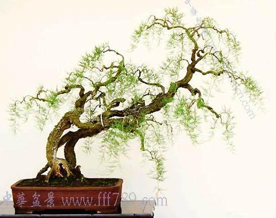 盆景树种介绍 柽柳和雪松品